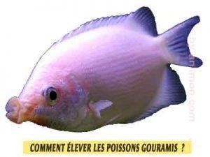 Gourami-embrasseur-Helostoma-temminkii-Comment-élever-les-poissons-Gouramis