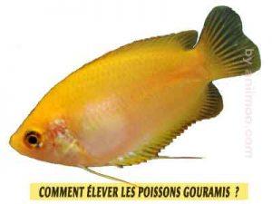 Gourami-miel---Trichogaster-chuna-Comment-élever-les-poissons-Gouramis