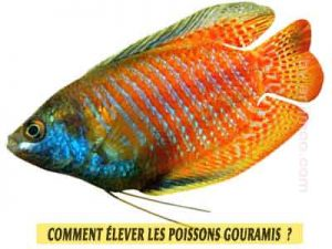Gourami-nain---Trichogaster-lalius--Comment-élever-les-poissons-Gouramis