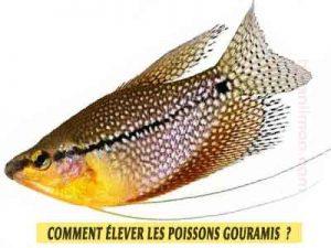 Gourami-perlé---Trichopodus-leerii---élever-les-poissons-Gouramis
