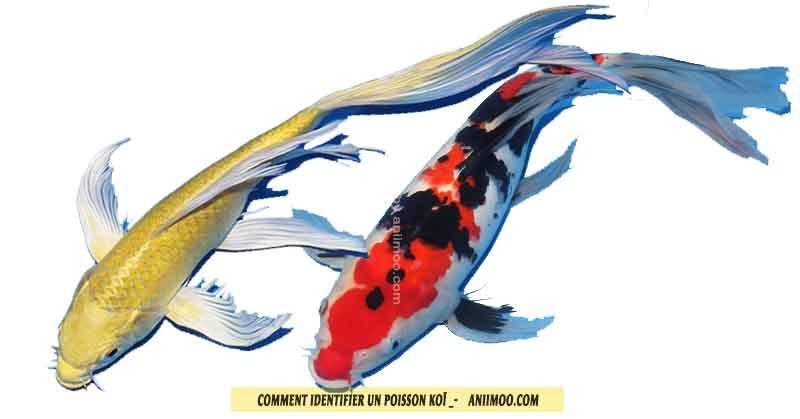 Koï---Comment-identifier-un-poisson-koï-03