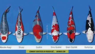 Koï---Comment-identifier-un-poisson-koï-FB