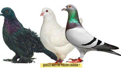 Pigeons-Quelle-race-de-pigeon-choisir-FB