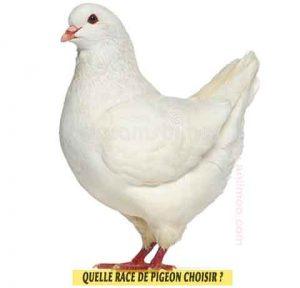 Pigeons-de-fantaisiet-Quelle-race-de-pigeon-choisir-03