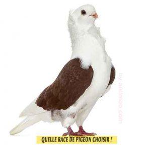 Pigeons-de-fantaisiet-Quelle-race-de-pigeon-choisir-05