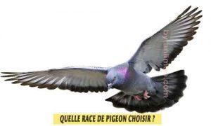 Pigeons-de-fantaisiet-Quelle-race-de-pigeon-choisir-06