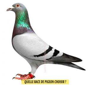 Pigeons-voyageut-Quelle-race-de-pigeon-choisir-01