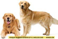 Quelles-raisons-font-de-d'un-Golden-retriever-l-le-meilleur-chien-00