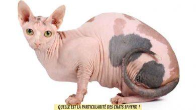 Sphynx-un-chat-très-particulier-00