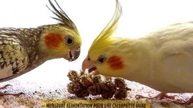 Meilleure-alimentation-pour-une-Callopsitte-saine-00
