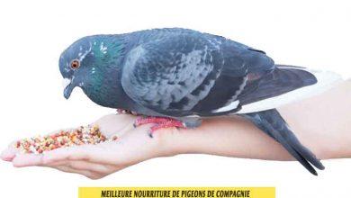 quelle-Meilleure-nourriture-de-pigeons-de-compagnie-00