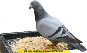 quelle-Meilleure-nourriture-de-pigeons-de-compagnie-04