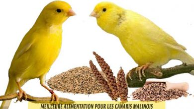 waterslager-canary-Meilleure-alimentation-pour-les-canaris-malinois-00