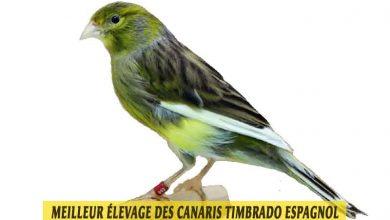 quel-Meilleur-élevage-des-canaris-Timbrado-espagnol-00