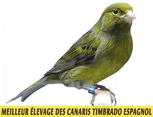 quel-Meilleur-élevage-des-canaris-Timbrado-espagnol-01
