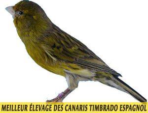 quel-Meilleur-élevage-des-canaris-Timbrado-espagnol-02