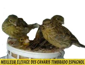 quel-Meilleur-élevage-des-canaris-Timbrado-espagnol-03