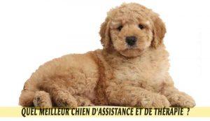 Goldendoodle-meilleur-chien-d'Assistance-et-de-Thérapie.04