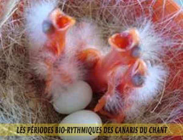 les-périodes-bio-rythmiques-des-canaris-de-chant01