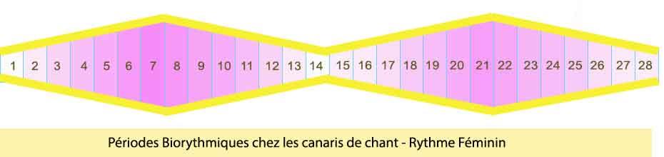 périodes-bio-rythmiques-des-canaris---Rythme-féminin