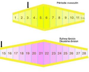 périodes-bio-rythmiques-des-canaris---Rythme-masculin-et-féminin