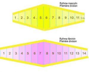 périodes-bio-rythmiques-des-canaris---Rythme-masculin-et-féminin.j2