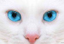 Télécharger gratuitement fond d'écran yeux blues chate blanche