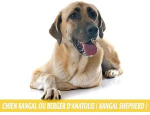 Chien-Kangal-ou-Berger-d'Anatolie---Kangal-Shepher-Les-Bergers-Kangal-sont-ils-si-dangereux-02