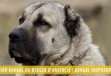 Chien-Kangal-ou-Berger-d'Anatolie---Kangal-Shepherd