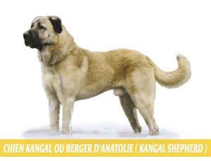 Chien-Kangal-ou-Berger-d'Anatolie---Kangal-Shepherd.-Les-Bergers-Kangal-sont-ils-si-dangereux-01