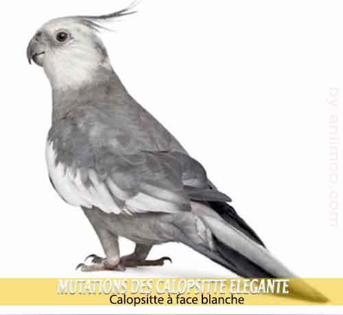 Les-meilleures-mutations-standards-des-calopsittes-01-Calopsitte-à-face-blanche