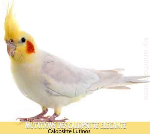 Les-meilleures-mutations-standards-des-calopsittes-03-Lutinos