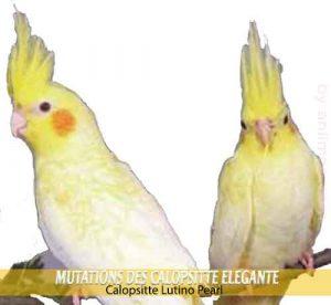 Les-meilleures-mutations-standards-des-calopsittes-04-Lutino-Pearl