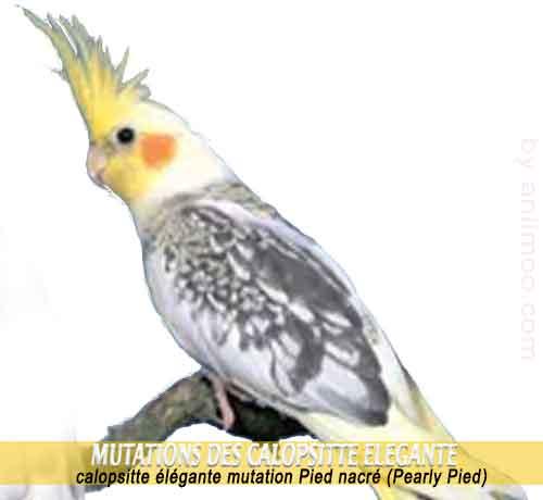 Les-meilleures-mutations-standards-des-calopsittes-07-Pied-nacré-Pearly-Pied