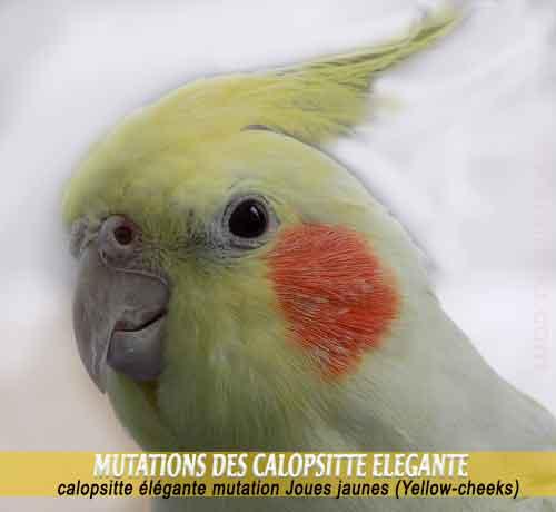 Les-meilleures-mutations-standards-des-calopsittes-08-Joues-jaunes-Yellow-cheeks