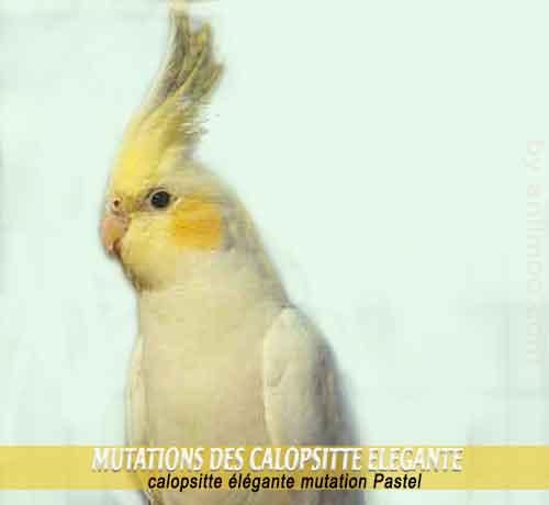 Les-meilleures-mutations-standards-des-calopsittes-09-Pastel