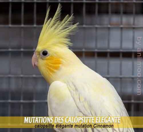 Les-meilleures-mutations-standards-des-calopsittes-10-Cinnamon