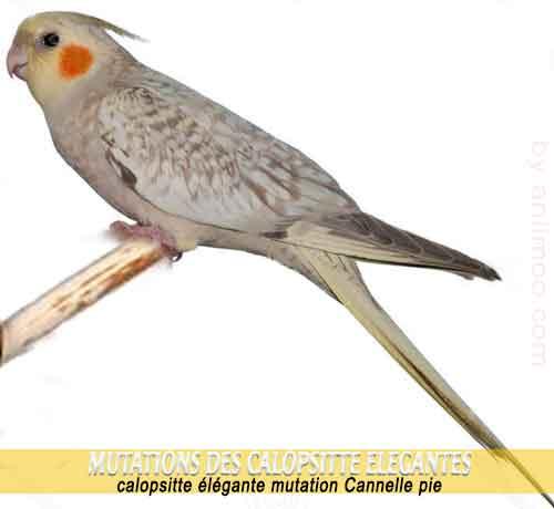 Les-meilleures-mutations-standards-des-calopsittes-11-Cannelle-pie