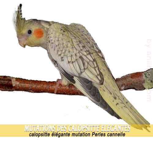 Les-meilleures-mutations-standards-des-calopsittes-12-Perles-cannelle