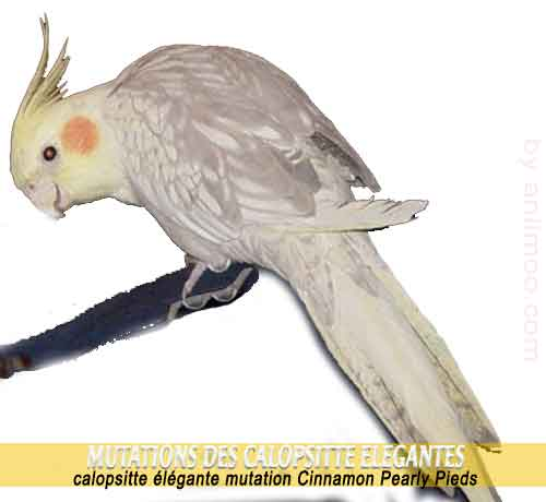 Les-meilleures-mutations-standards-des-calopsittes-13-Cinnamon-Pearly-Pieds