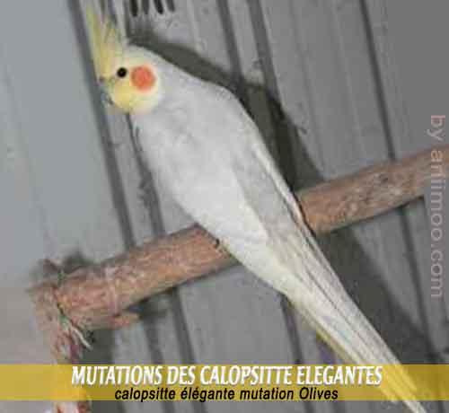 Les-meilleures-mutations-standards-des-calopsittes-14-Olives