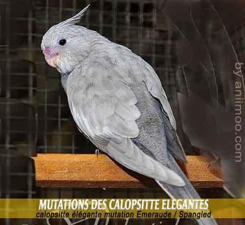 Les-meilleures-mutations-standards-des-calopsittes-16-Cockatiels-Emeraude---Spangled