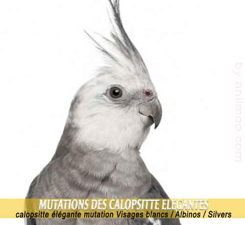 Les-meilleures-mutations-standards-des-calopsittes-17-Visages-blancs---Albinos---Silvers