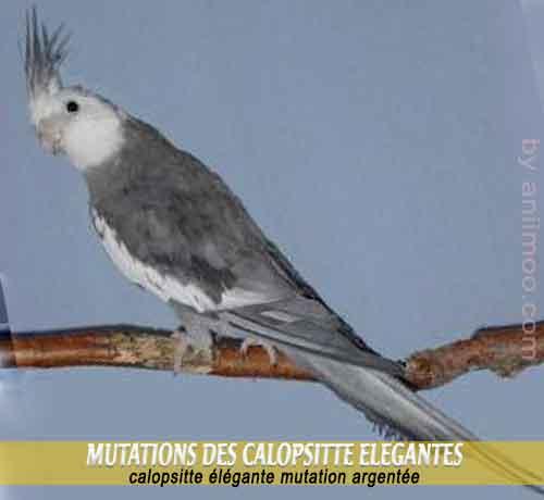 Les-meilleures-mutations-standards-des-calopsittes-18-Mutation-argentée