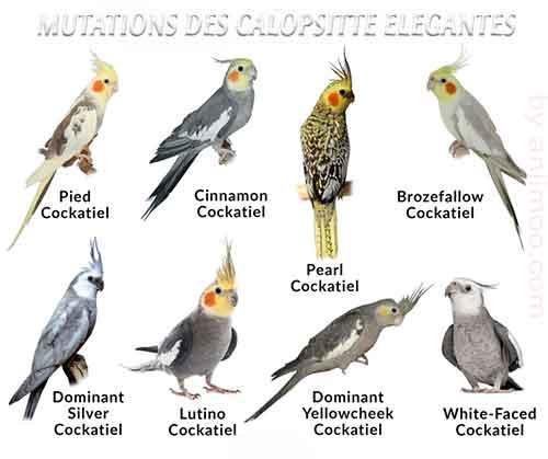 Les-meilleures-mutations-standards-des-calopsittes-èlégamtes-02