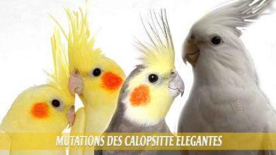 Les-meilleures-mutations-standards-des-calopsittes-èlégantes-00