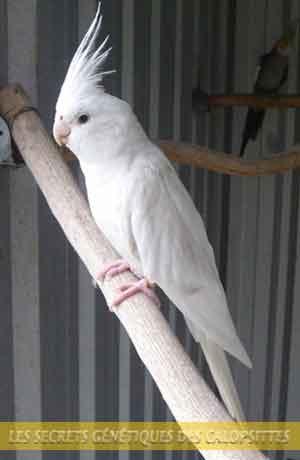 Les-secrets-génétiques-des-calopsittes-06-COCKATIEL-Lutino---Albino