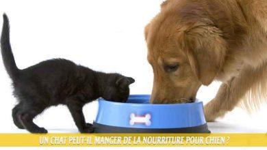 Un-chat-peut-il-manger-de-la-nourriture-pour-chien-00