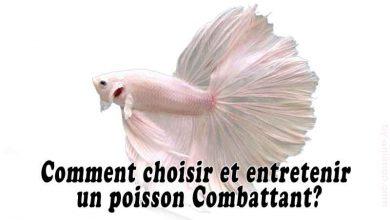 Comment-choisir-et-entretenir-un-poisson-Combattant