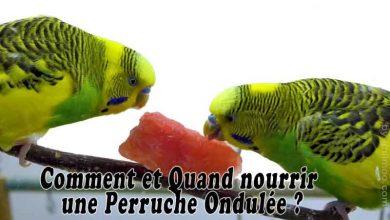 Comment-et-Quand-nourrir-une-Perruche-Ondulée-00
